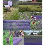 """""""Lavender Scenes"""" by sgrace"""