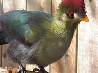 Turaco from Africa