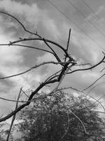 BW Branches against Clouds