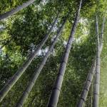 """Bamboo Forest, Kyoto"" by LawnoveN"