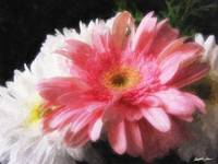 Gerbera Daisy 5 Painterly