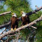 """Eagle Pair"" by BABowenphotography"
