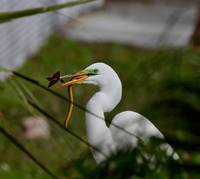 Great white Egret eating