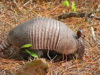 Armadillo - Wildlife