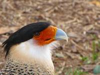 Crested Caracara Head