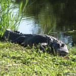 """Alligator"" by BABowenphotography"