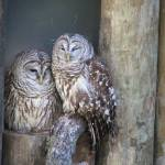 """""""Barred Owl"""" by BABowenphotography"""