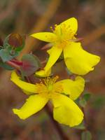 Pair of St. John's Wort