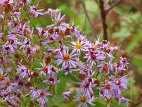 Purple Aster Cluster