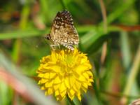 White Checkerd Skipper on Yellow Bachelors Button