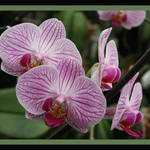"""Striped Orchids with Border"" by Groecar"