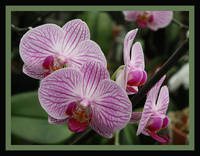 Striped Orchids with Border
