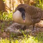 """""""Mother Goose"""" by jcramer"""