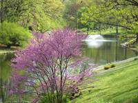 Redbud on the Lake