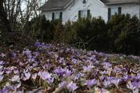 Yard Full of Crocuses