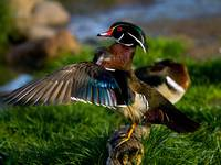Wood Duck Wing