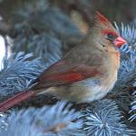 """Female Cardinal"" by LindaYvonne"