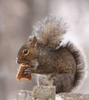 IF YOU GIVE A SQUIRREL A COOKIE