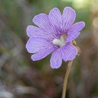 Purple Butterwort