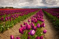 Skagit Valley Tulip Field