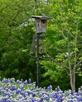 Bluebonnets and Blue Bird