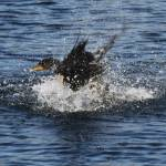 """Dancing Cormorant"" by"