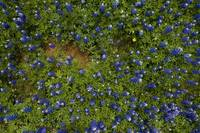 Bluebonnets: Aerial View 371
