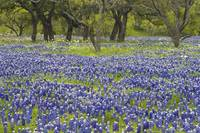 Texas Hill Country Bluebonnets 417