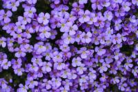 Purple Rockcress