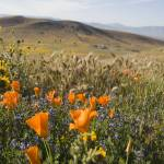 """""""California Poppies and Wildflowers"""" by Eileen"""