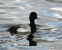 Lesser Scaup Duck