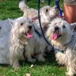 A Herd of Happy Westies
