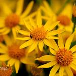 """""""Yellow daisies"""" by Spangles44"""