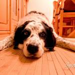"""""""Dog tired"""" by Spangles44"""