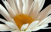 Flower 02c Daisy White Spring Floral Macro