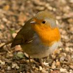 """""""robin 3"""" by DPWphotography"""