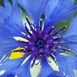 """""""Cornflower"""" by DPWphotography"""