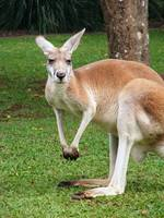 Posing Red Kangaroo