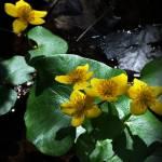 """Marsh Marigold"" by bavosiphotoart"