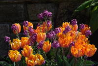 Tulips, Wallflowers, Wall
