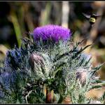 """Bumble Bee hovering by a thistle"" by BABowenphotography"