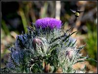 Bumble Bee hovering by a thistle