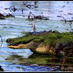 """Gator Growl"" by BABowenphotography"