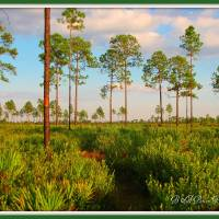"""Return loop of Florida Trail in Late evening"" by BABowenphotography"