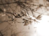 cherry blossoms in the sun, sepia