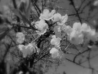 cherry blossoms in the sky, black & white