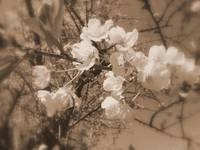 cherry blossoms in the sky, sepia