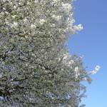 """Spring, Bradford Pear 043"" by photographybydonna"