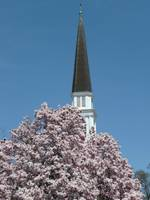 Tulip Tree in front of the Church 076