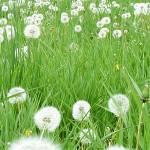 """Flower 10c Dandelion White Spring Floral Meadow"" by Ricardos"